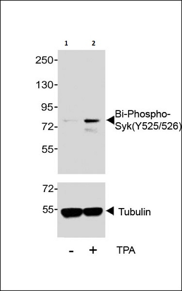Western blot - Anti-Syk (phospho Y525 + Y526) antibody (ab58575)