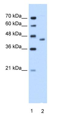 Western blot - Anti-ADH1B antibody (ab58647)
