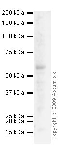 Western blot - Anti-SLC40A1 antibody (ab58695)