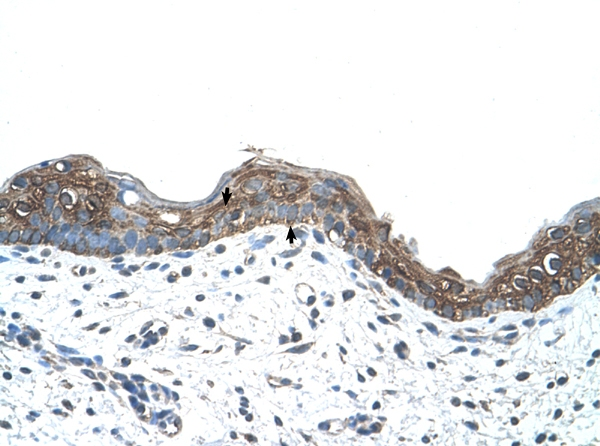Immunohistochemistry (Formalin/PFA-fixed paraffin-embedded sections) - Anti-Ankyrin erythroid antibody (ab58698)