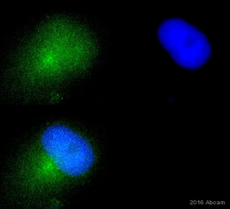Immunocytochemistry/ Immunofluorescence - Anti-MMP9 antibody [56-2A4] (ab58803)