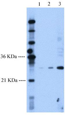 Western blot - Anti-Follistatin antibody (ab58920)