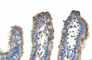 Immunohistochemistry (Formalin/PFA-fixed paraffin-embedded sections) - Anti-RHOBTB1 antibody (ab59123)