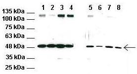 Western blot - Anti-RNF128 antibody (ab59150)