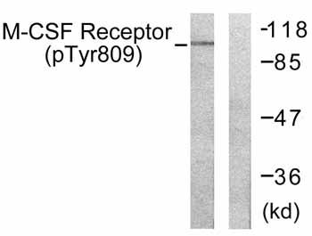Western blot - Anti-MCSF Receptor (phospho Y809) antibody (ab59199)