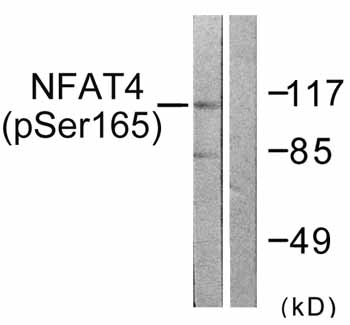 Western blot - Anti-NFAT4 (phospho S165) antibody (ab59204)