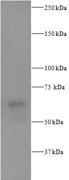 Western blot - Anti-S6K1 (phospho T229) antibody (ab59208)