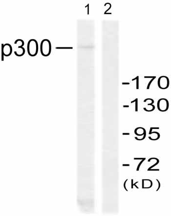 Western blot - Anti-KAT3B / p300 antibody (ab59240)