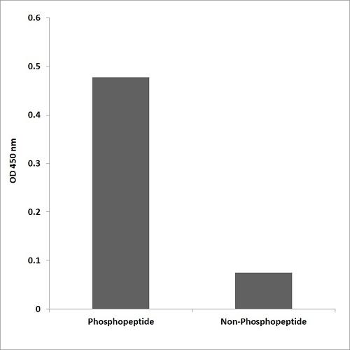 ELISA - Anti-PKC zeta (phospho T560) antibody (ab59412)