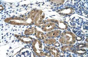 Immunohistochemistry (Formalin/PFA-fixed paraffin-embedded sections) - Anti-HDAC9 antibody - ChIP Grade (ab59718)
