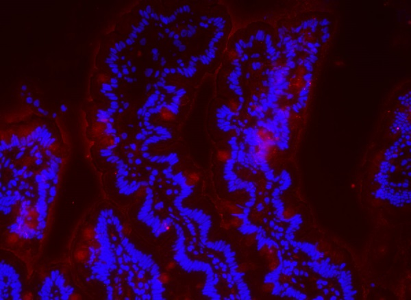 Immunofluorescence - Anti-ZO1 tight junction protein antibody (ab59720)