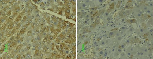 Immunohistochemistry (Frozen sections) - Anti-Cyclin D1 antibody [CD1.1] (ab6152)