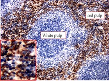 Immunohistochemistry (Formalin/PFA-fixed paraffin-embedded sections) - Anti-F4/80 antibody [CI:A3-1] (ab6640)