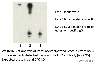 Immunoprecipitation - Goat Anti-Rabbit IgG H&L (HRP) (ab6721)