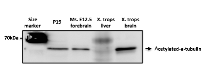 Western blot - Goat Anti-Rabbit IgG H&L (HRP) (ab6721)