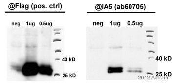 Western blot - Anti-Ephrin A5 antibody (ab60705)