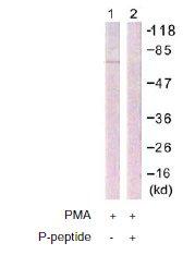 Western blot - Anti-Raf1 (phospho S296) antibody (ab60985)
