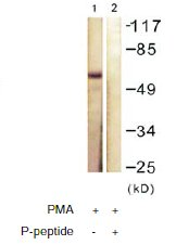 Western blot - Anti-LKB1 (phospho T189) antibody (ab60987)