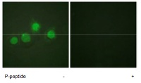 Immunocytochemistry/ Immunofluorescence - GATA4 (phospho S262) antibody (ab61053)