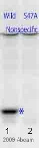 Western blot - Anti-Histone H4 (phospho S47) antibody (ab61061)