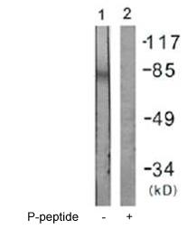 Western blot - Anti-IFNGR1 (phospho Y457) antibody (ab61062)