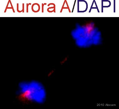 Immunocytochemistry/ Immunofluorescence - Anti-Aurora A antibody (ab61114)