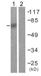 Western blot - Anti-DDX3 antibody (ab61153)