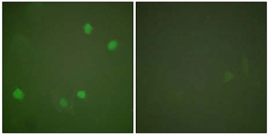 Immunocytochemistry/ Immunofluorescence - Anti-HDAC3 antibody (ab61216)