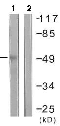 Western blot - Anti-HDAC3 antibody (ab61216)