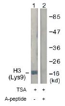 Western blot - Anti-Histone H3 (acetyl K9) antibody (ab61231)
