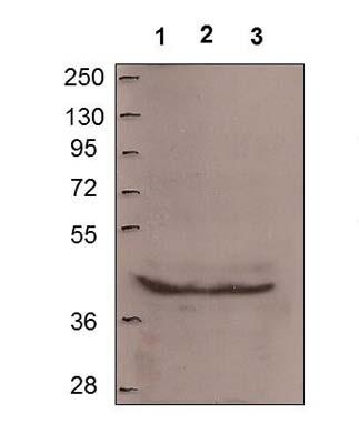Western blot - Anti-MTUS1 antibody (ab61309)