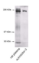 Western blot - Anti-alpha 1 Inhibitor 3 antibody (ab61338)