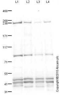 Western blot - Anti-ZO1 tight junction protein antibody [mAbcam 61357] (ab61357)