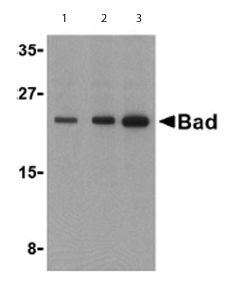 Western blot - Anti-Bad antibody (ab62465)