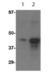 Western blot - Anti-Avian Influenza A Hemagglutinin 3 antibody (ab62485)