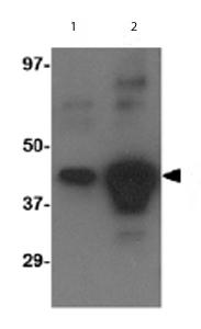 Western blot - Anti-Avian Influenza A Hemagglutinin antibody (ab62490)
