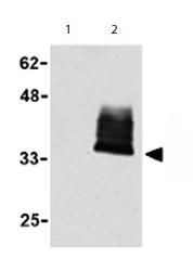 Western blot - Anti-TWEAKR antibody (ab62496)