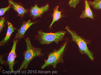 Immunocytochemistry/ Immunofluorescence - Anti-PAK4 antibody (ab62509)