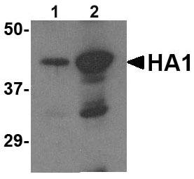 Western blot - Anti-Avian Influenza A Hemagglutinin antibody (ab62587)
