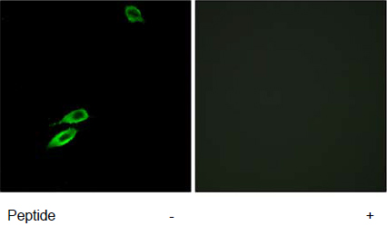 Immunocytochemistry/ Immunofluorescence - Anti-Bax antibody (ab62641)