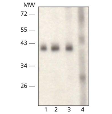 Western blot - Anti-SIRT6 antibody (ab62738)