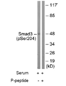 Western blot - Anti-Smad3 (phospho S204) antibody (ab63402)