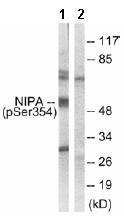 Western blot - Anti-NIPA (phospho S354) antibody (ab63557)