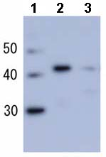 Western blot - Anti-RecA antibody (ab63797)