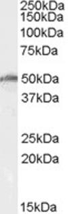 Western blot - Anti-DDX19B antibody (ab63946)