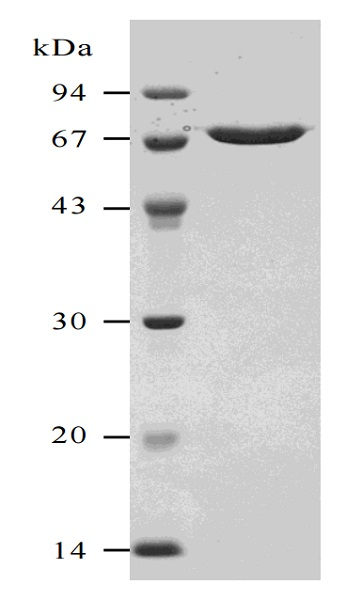 SDS-PAGE - Natural Streptolysin O (Hemolytic streptococcus) protein (ab63978)