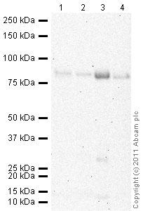 Western blot - Anti-CD36 antibody (ab64014)