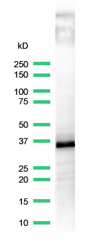 Western blot - Anti-CD20 antibody [SP32], prediluted (ab64089)