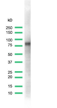 Western blot - Anti-CD44 antibody [SPM521], prediluted (ab64095)