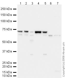 Western blot - CD80 antibody (ab64116)